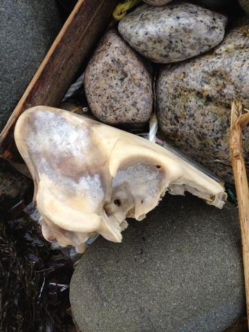 イノシシ頭骨?