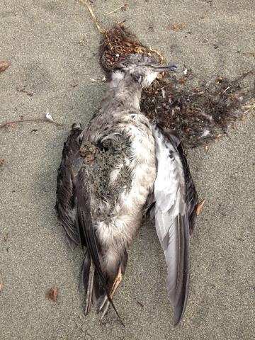 ミズナギドリ類の死骸