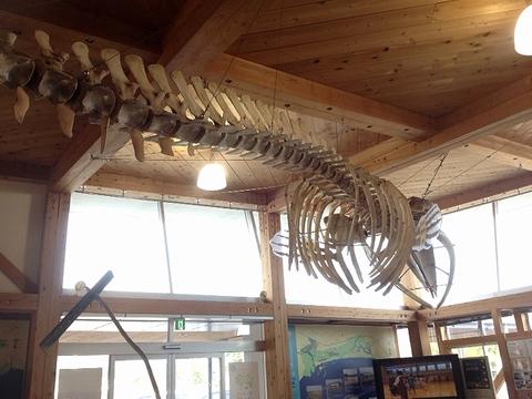 クジラの骨格標本