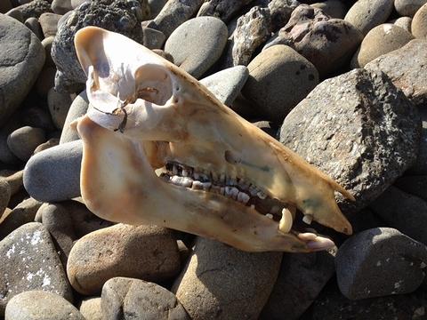イノシシ頭骨