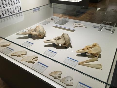 イルカ類の骨