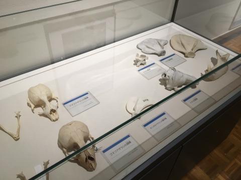 アザラシやトドの骨