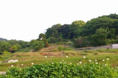 白爪草と段々畑