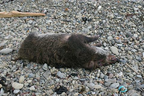 漂着した猪の死骸