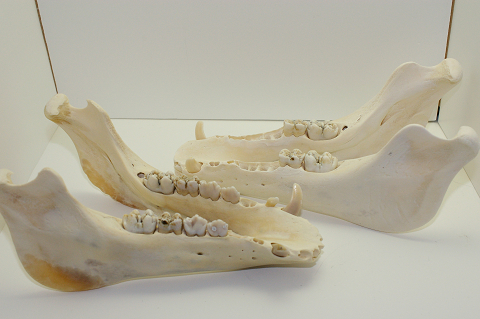 猪の下顎骨